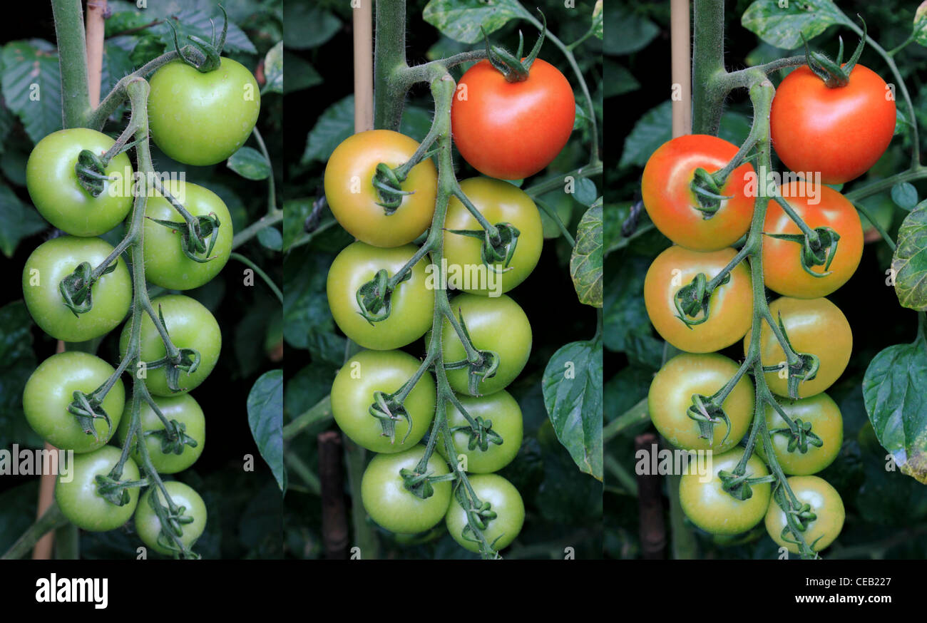 3457. Tomatoes (Moneymaker), Ripening sequence, Kent, UK - Stock Image