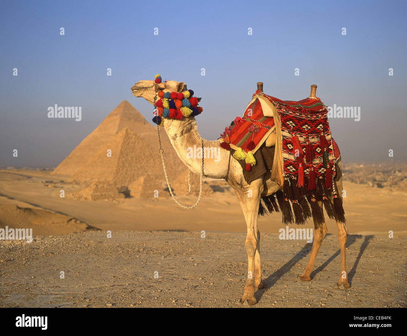 Decorated camel and The Great Pyramids of Giza, Giza, Giza Governate, Republic of Egypt - Stock Image