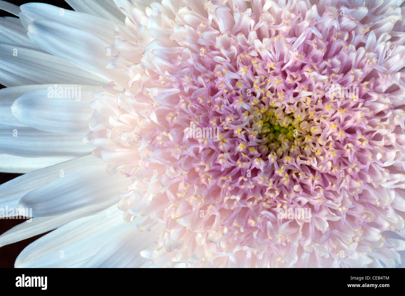 close-up of white flower with pink center - Stock Image