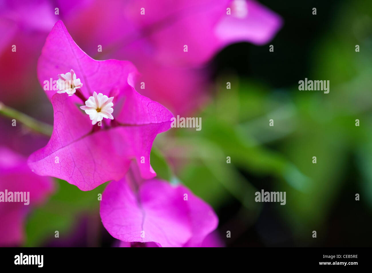 Bougainvillea spectabilis. Great bougainvillea Small white flowers and purple bracts. Andhra Pradesh, India - Stock Image