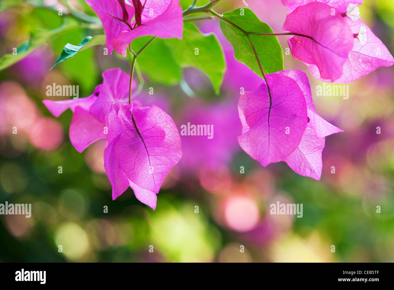 Bougainvillea spectabilis. Great bougainvillea purple bracts. Andhra Pradesh, India - Stock Image