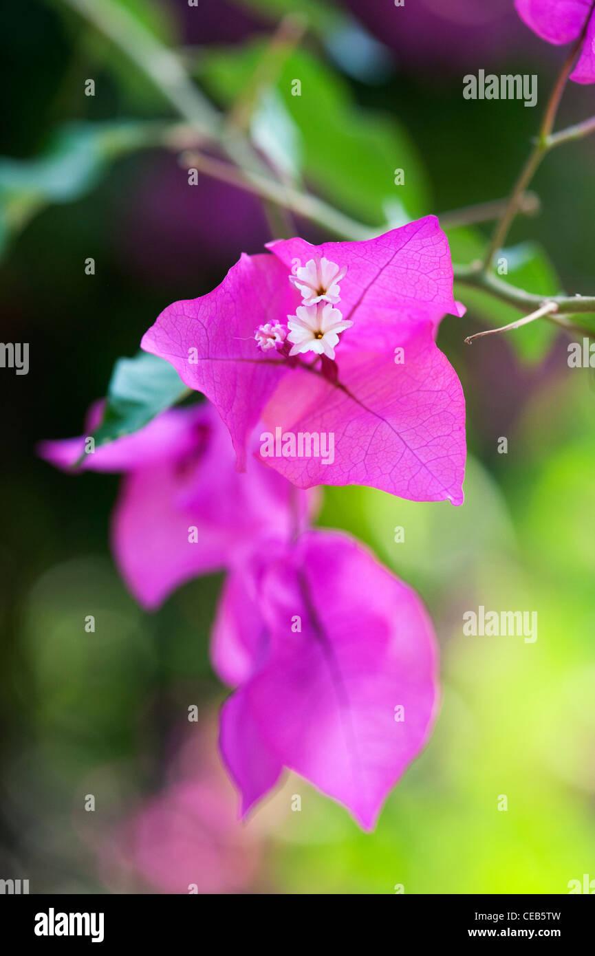 Bougainvillea spectabilis. Great bougainvillea Small white flowers and purple bracts. Andhra Pradesh, India - Stock Image