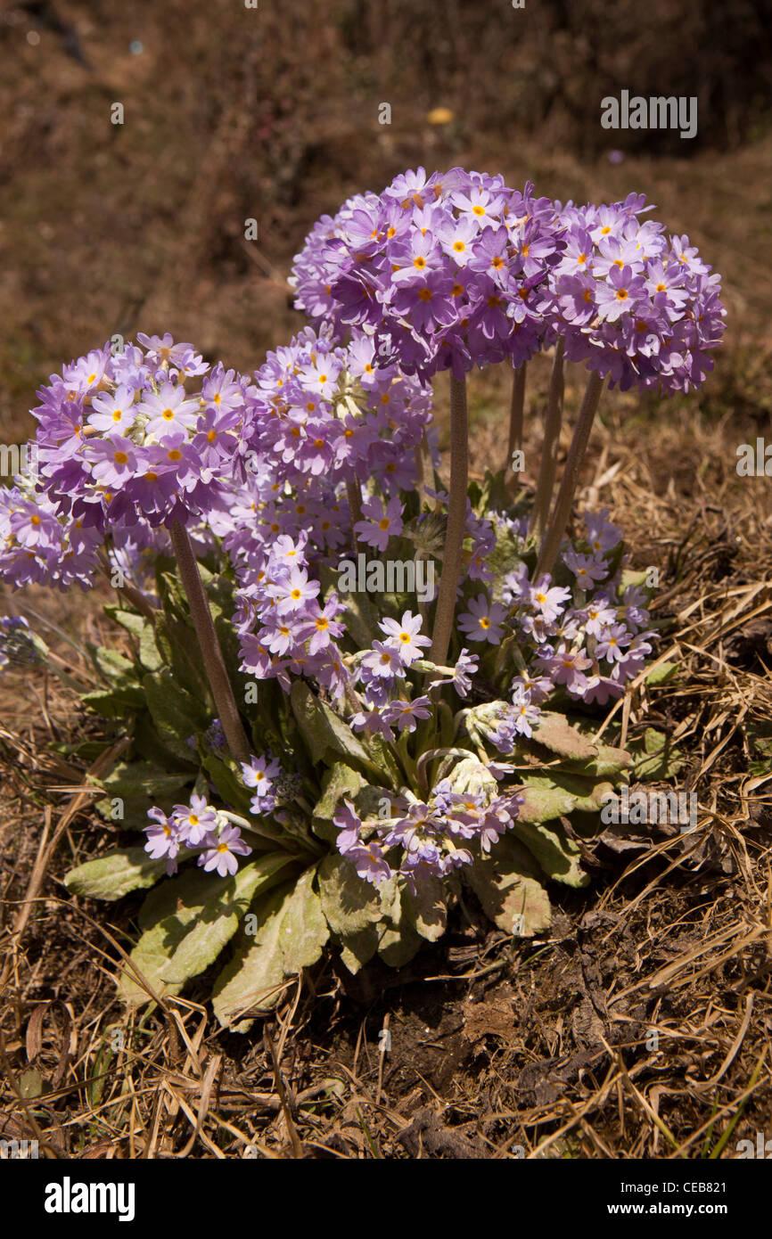 India, Arunachal Pradesh, wild flowers, Primula denticulata, Drumstick or Himalayan Primrose - Stock Image
