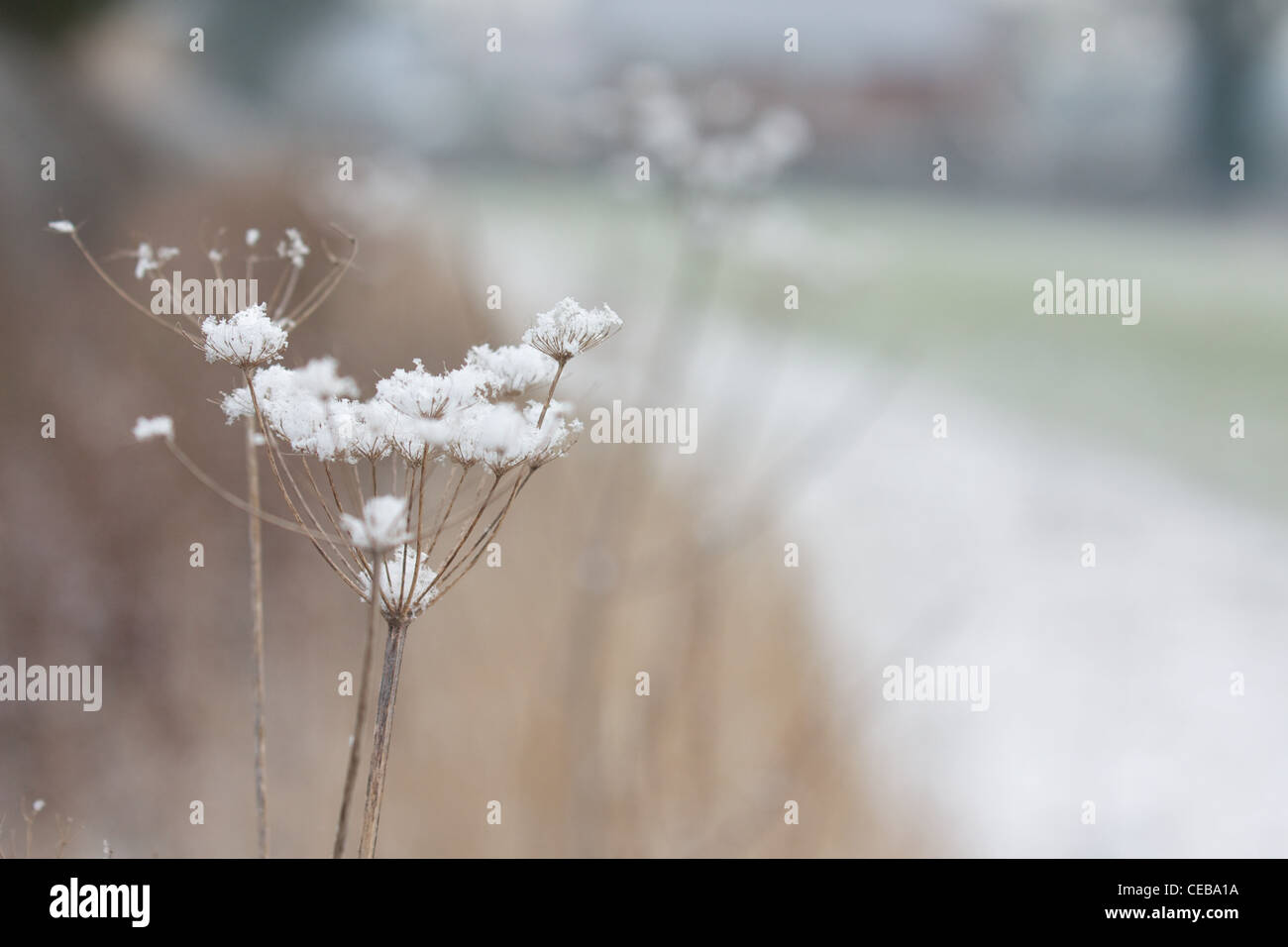 Snow flakes on dried plants - Stock Image