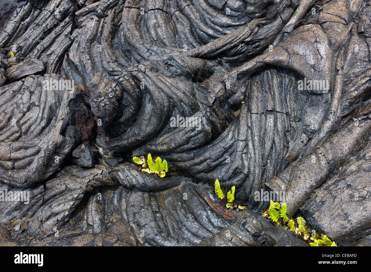 Pahoehoe lava and ferns Hawaii Volcanoes National Park, The Big Island. - Stock Image