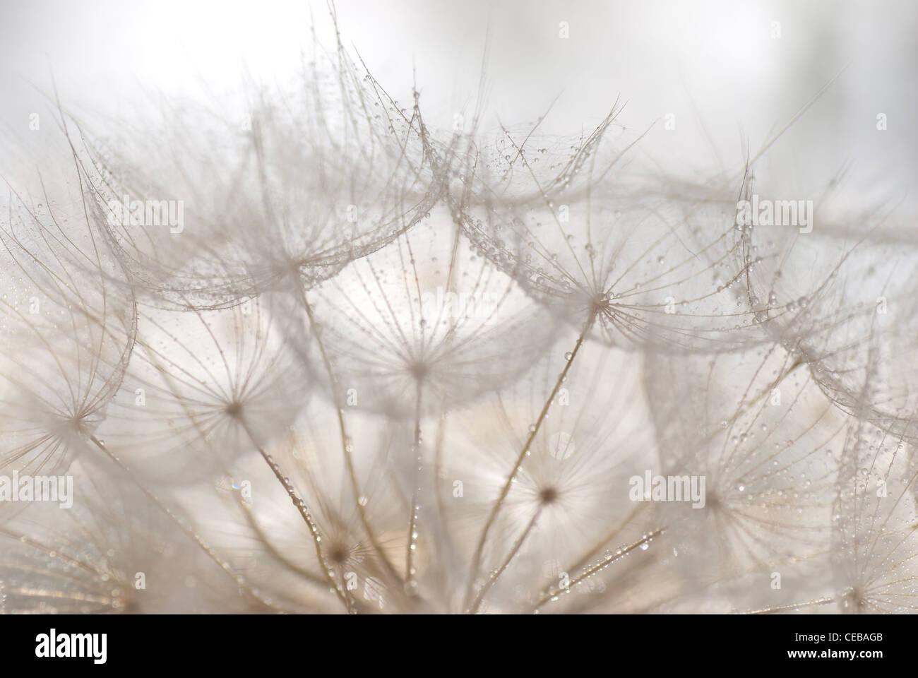 dandelion white dew morning fresh soft light  macro - Stock Image