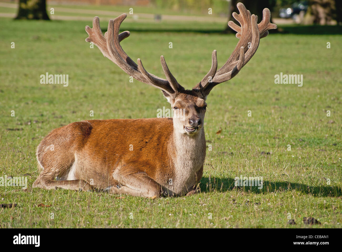 deer laying down stock photos deer laying down stock images alamy