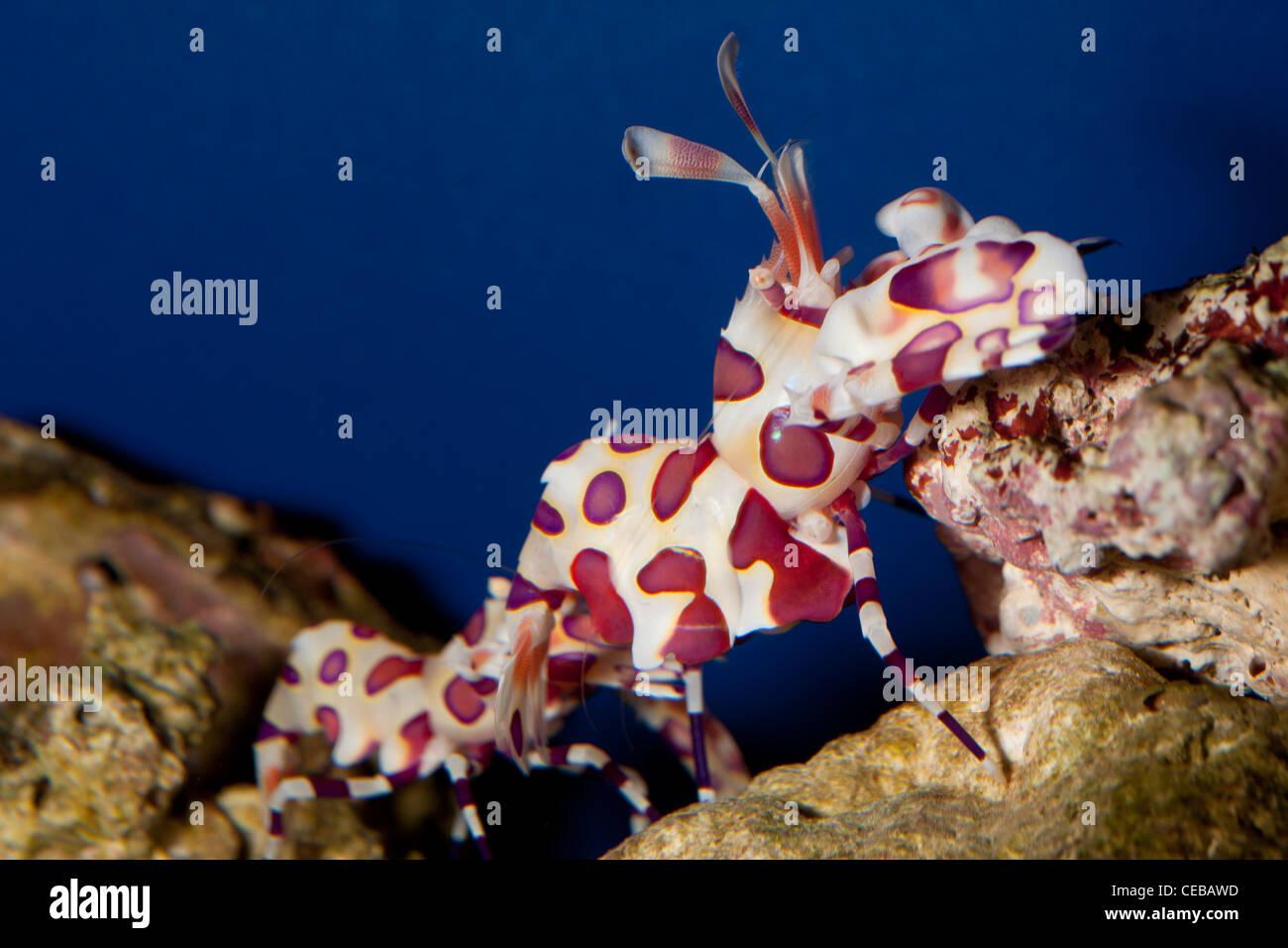 Harlequin shrimp, Hymenocera picta - Stock Image