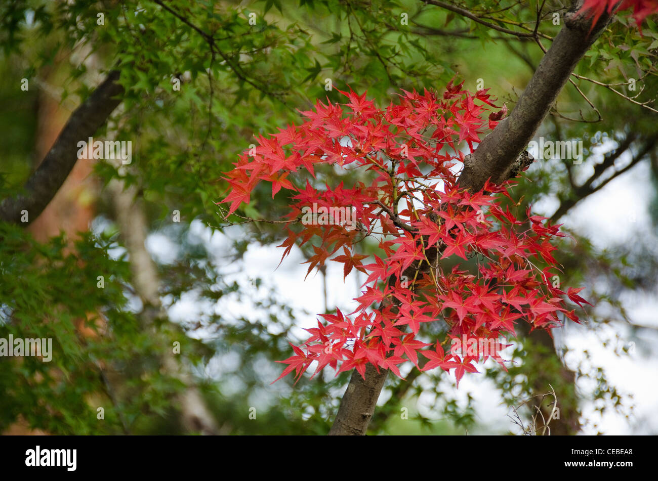 Red leaves of the japanese maple in autumn in front of green leaves, foliage Stock Photo