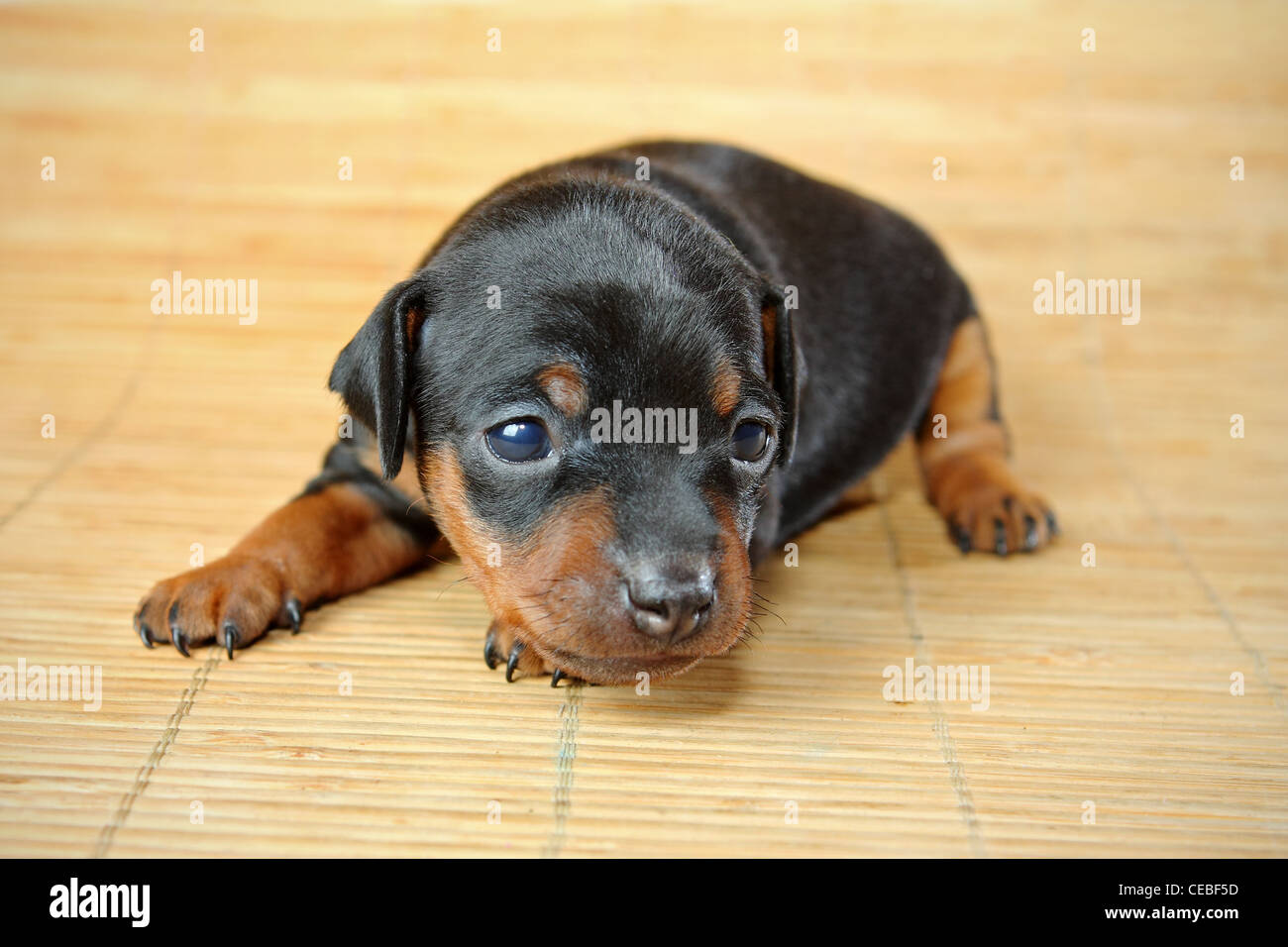 The Miniature Pinscher Puppy 3 Weeks Old Stock Photo 43279305 Alamy