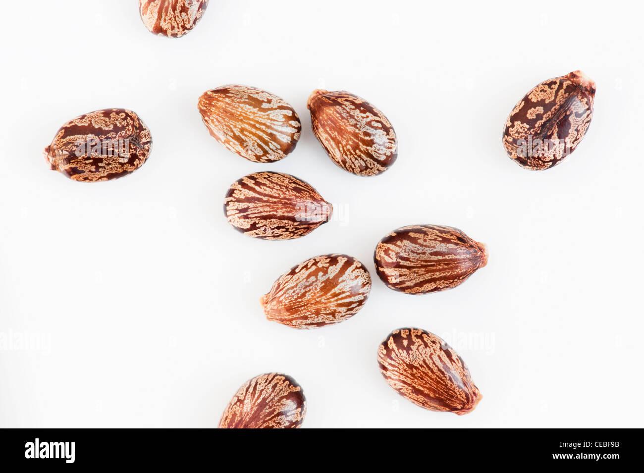 Ricinus communis. Castor oil seeds on white background - Stock Image