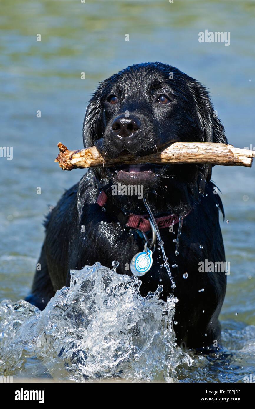 black labrador retriever with stick - Stock Image