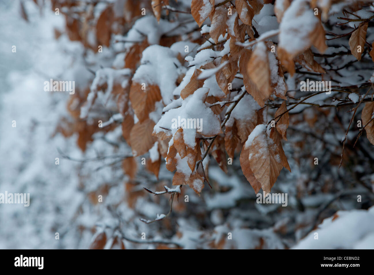 Snow has fallen and settled on a hedgerow with dry autumn coloured leaves. Stock Photo