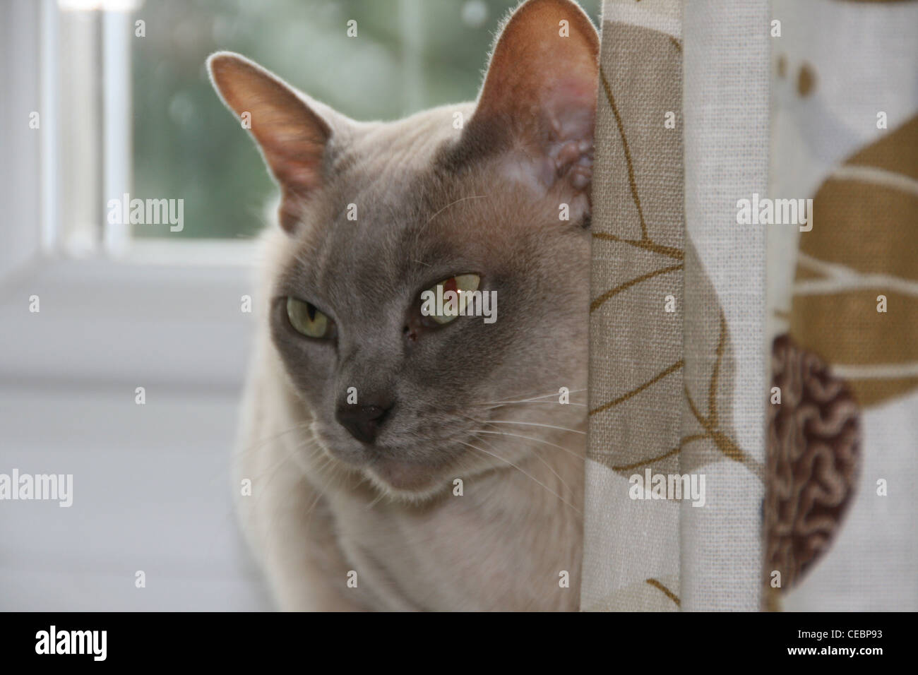 Lily a Lilac Burmese cat sitting behind the curtain on the windowsill. - Stock Image