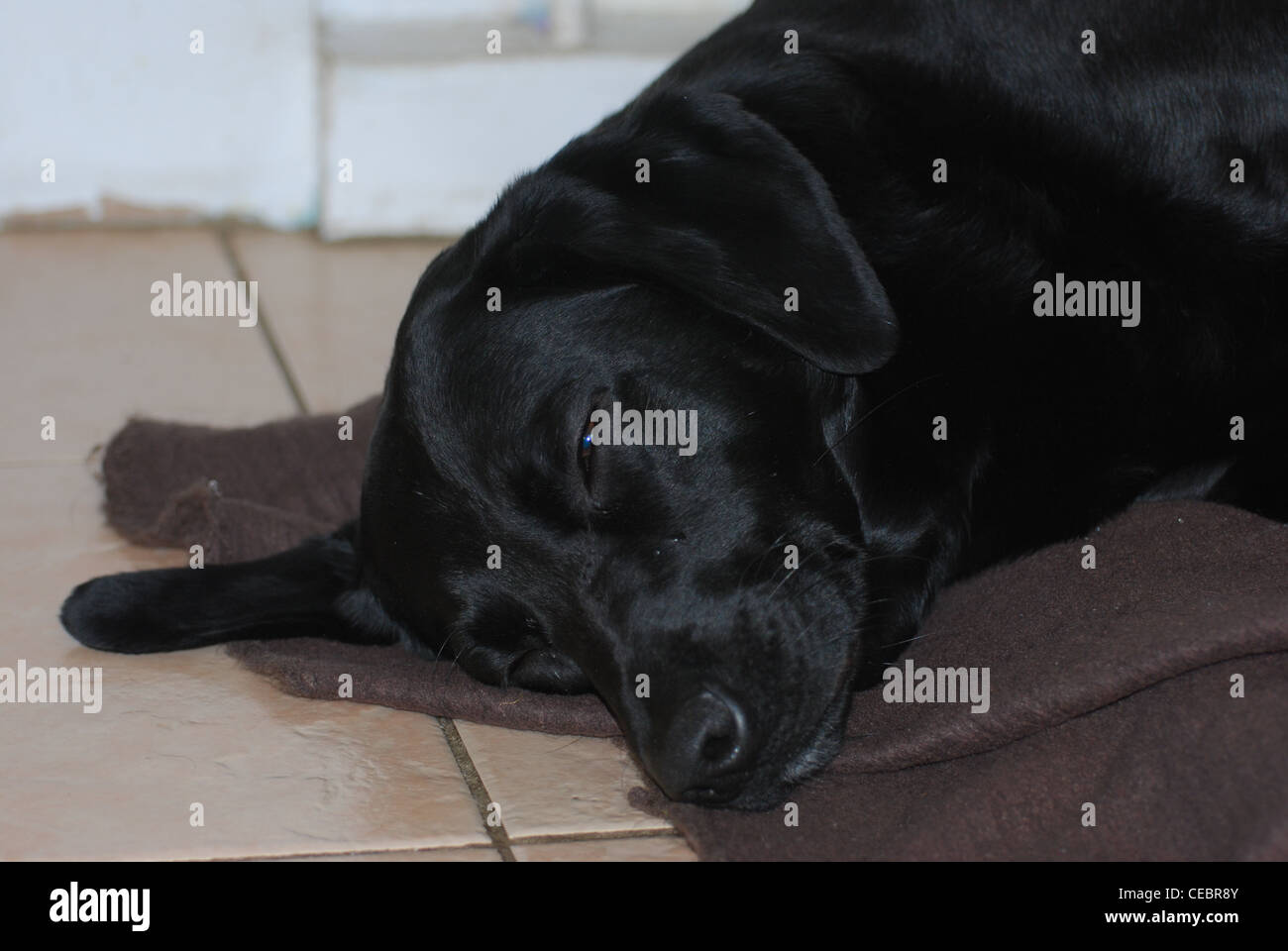 Sleeping black Labrador dog - Stock Image