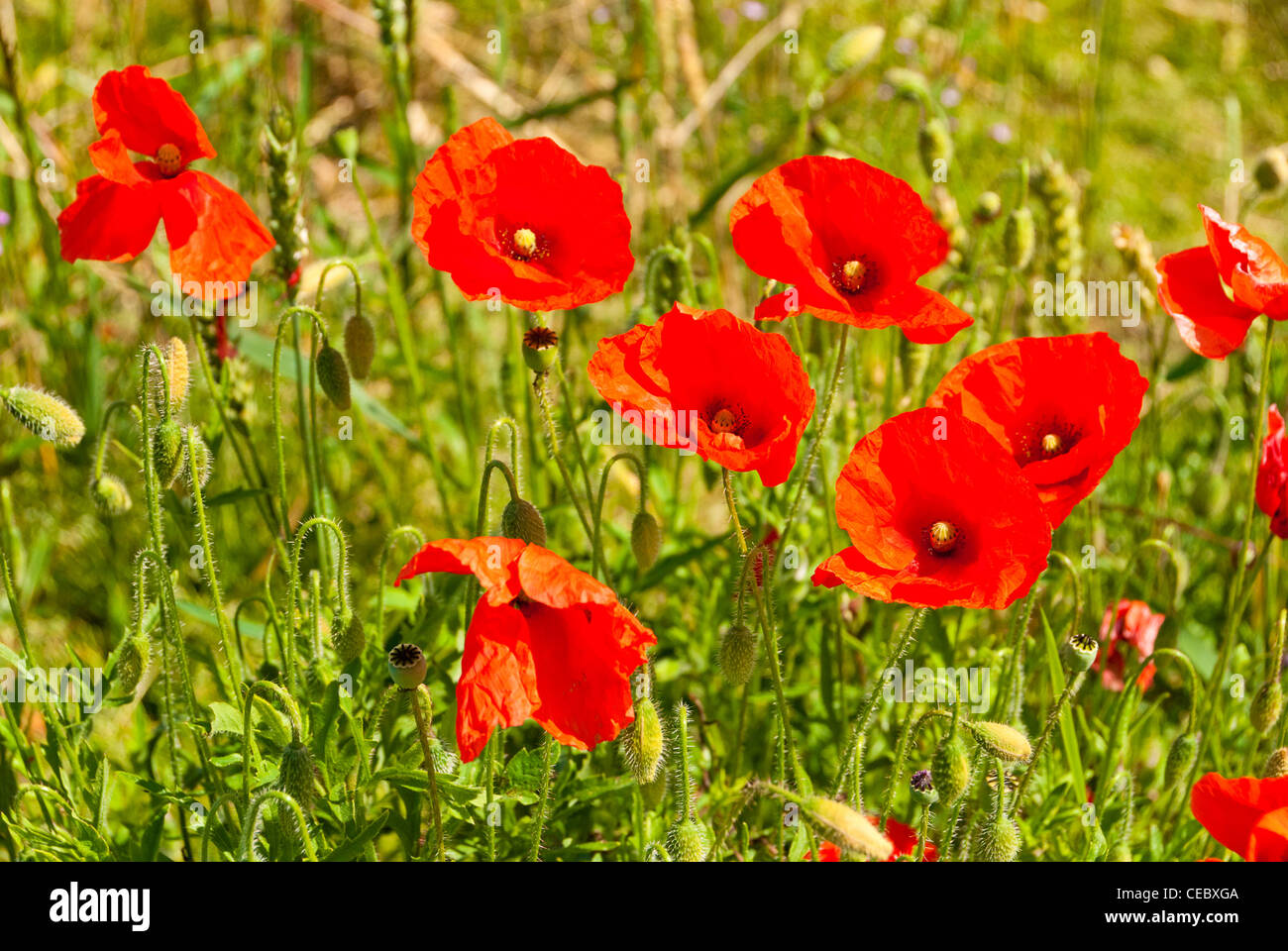 Poppies in a field - Stock Image