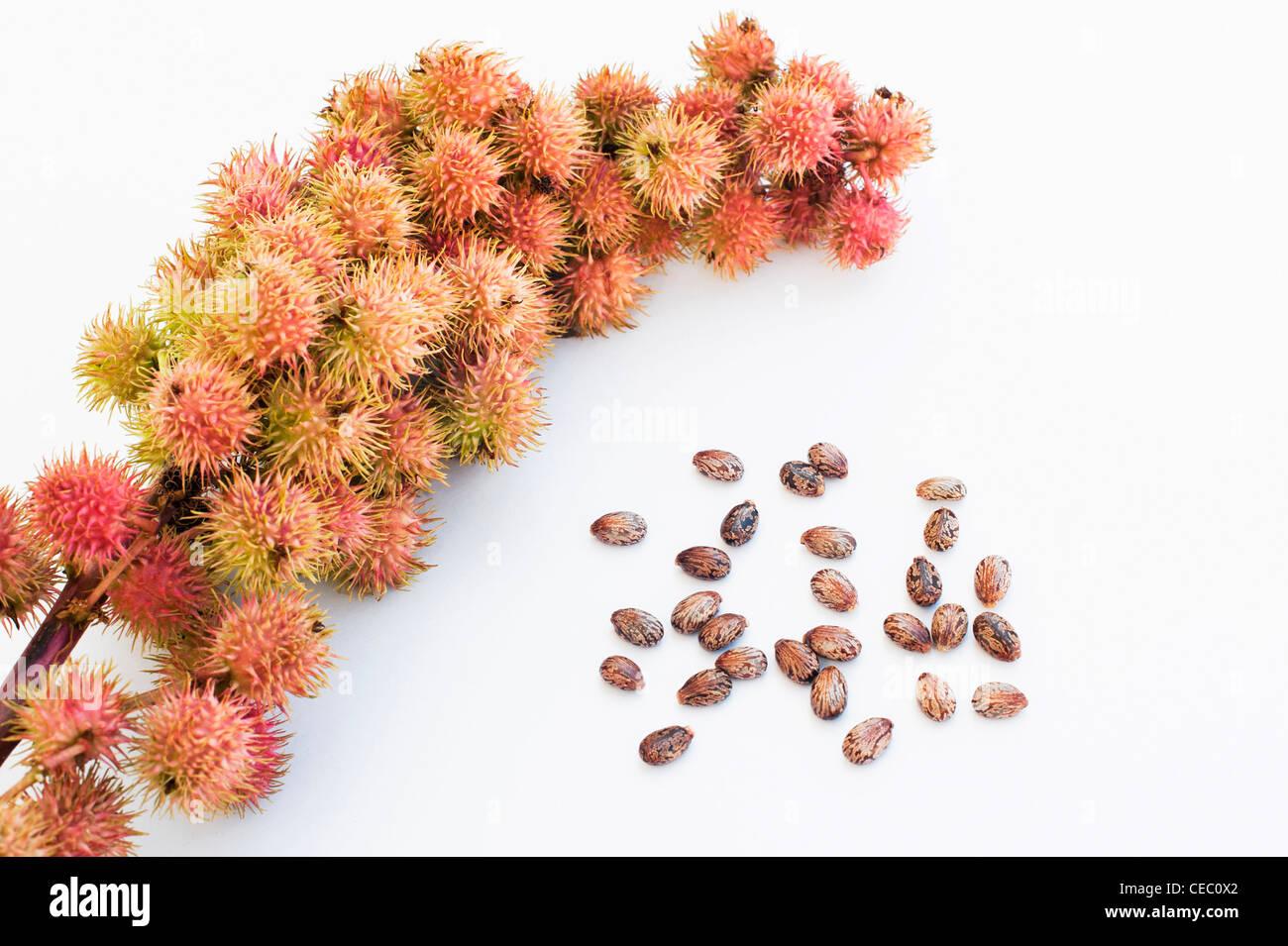 Ricinus communis. Castor oil fruit and seeds on white background - Stock Image