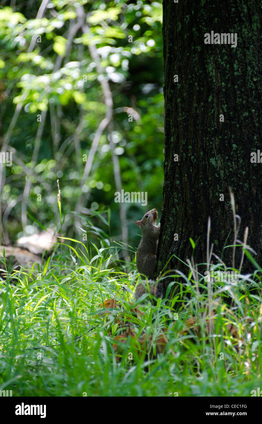 Squirrel climbing tree in Dam No 1 Woods Forest Preserve in Wheeling Illinois on a hot humid day in July. Stock Photo