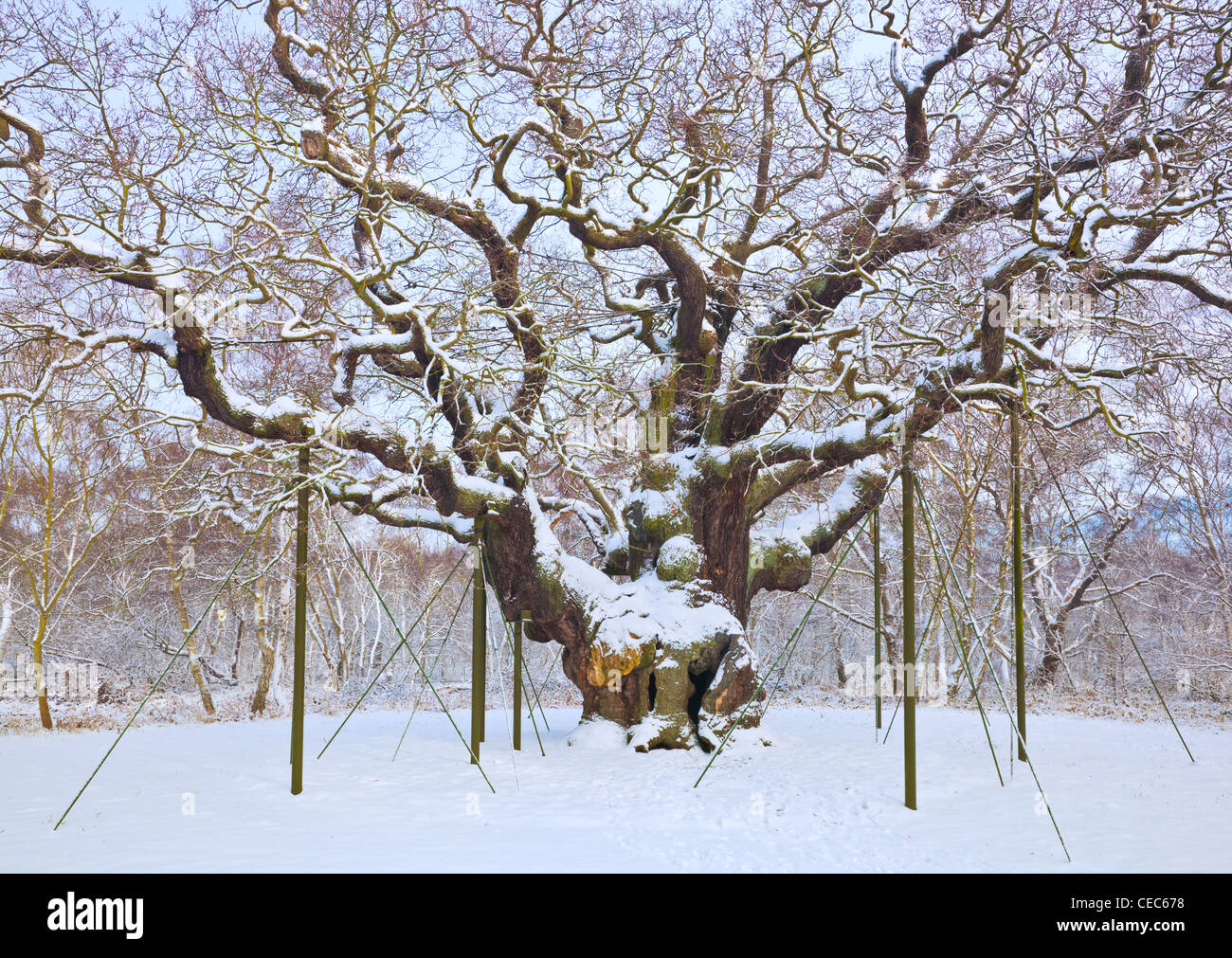 the major oak tree in the fresh snow sherwood forest country park edwinstowe nottinghamshire england uk gb eu europe - Stock Image