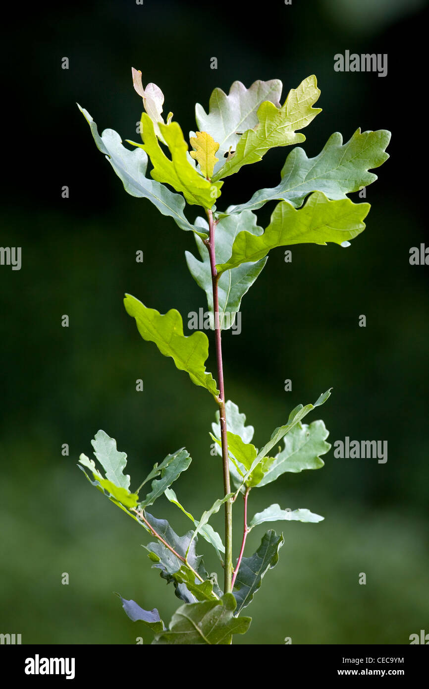 Twig with leaves of English Oak / Pedunculate Oak (Quercus robur), Belgium - Stock Image