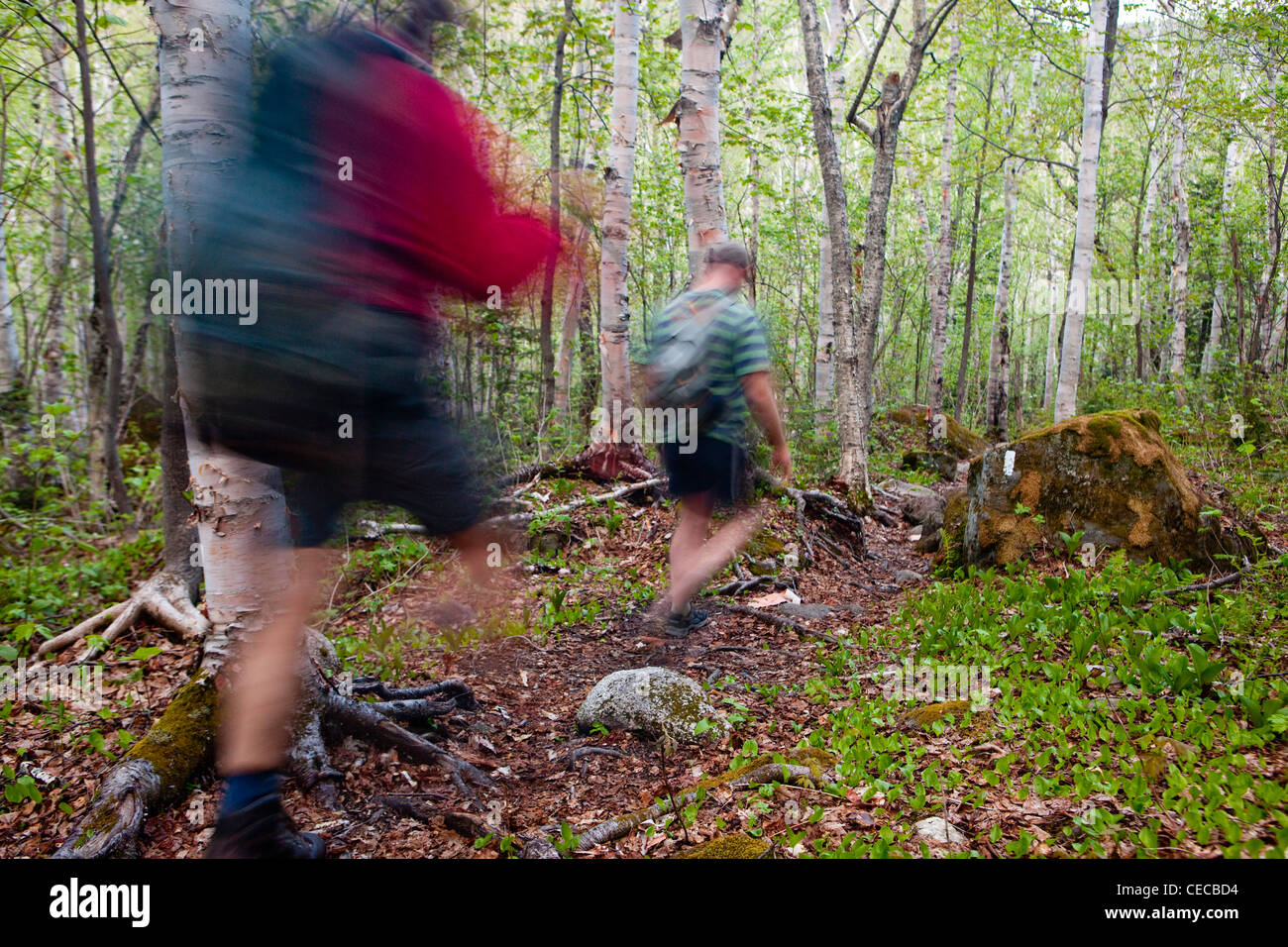Two men hike through a paper birch forest on the Appalachian Trail on Crocker Mountain in Stratton, Maine. - Stock Image