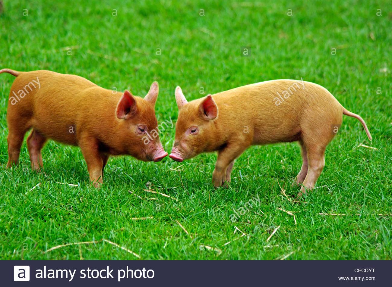 Iron Age Piglets Cotswold Farm Park England - Stock Image