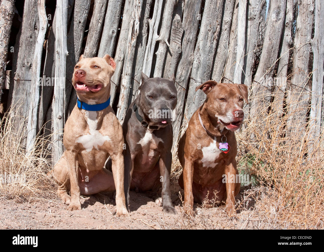 Three American Pitt Bull Terriers sitting against a coyote fence in New Mexico - Stock Image