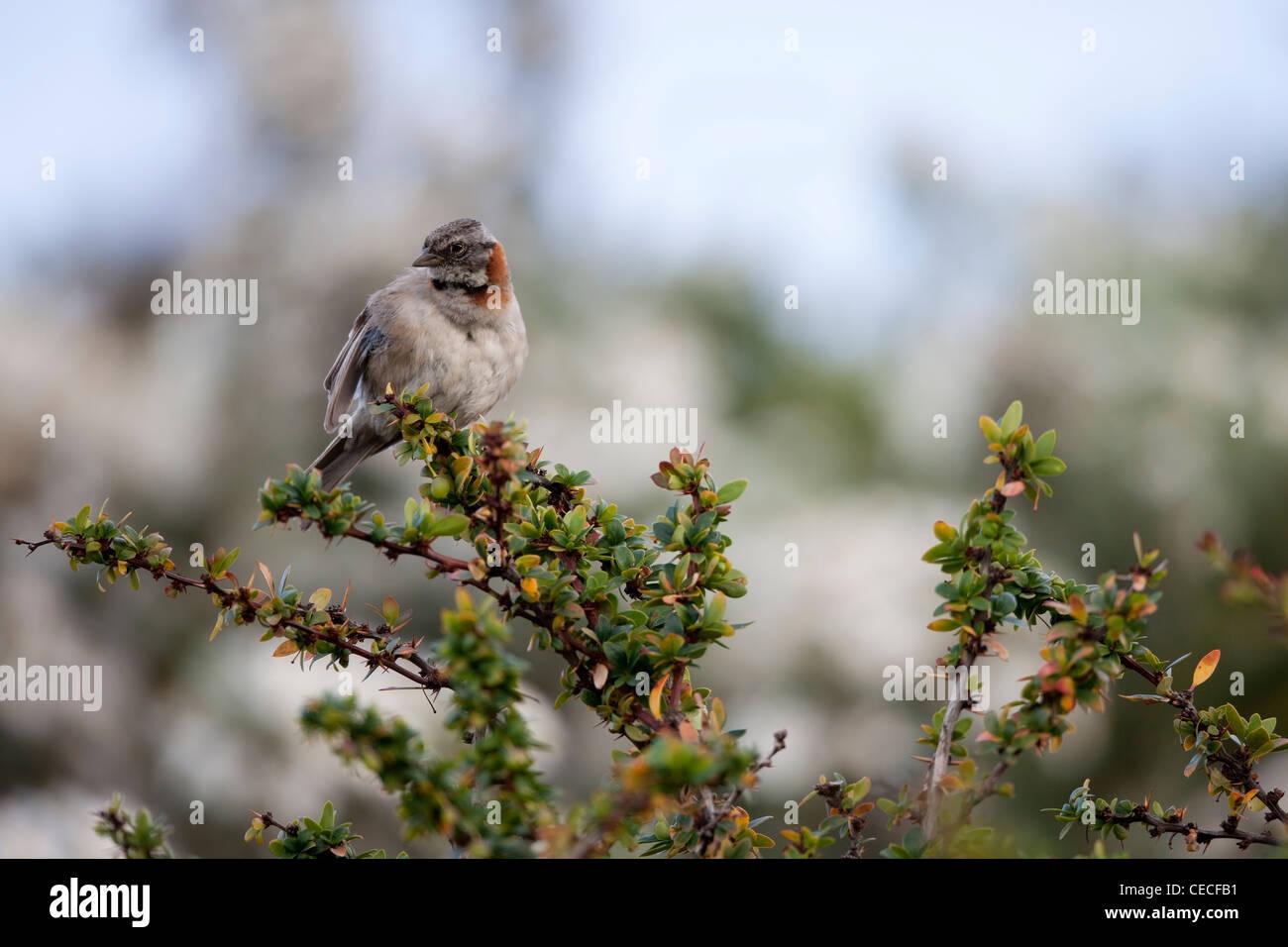Rufous-collared Sparrow (Zonotrichia capensis australis) in Ushuaia, Tierra Del Fuego, Argentina. Stock Photo