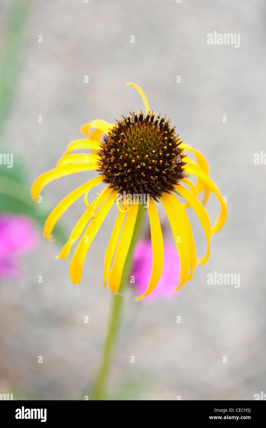 Echinacea paradoxa . Yellow Coneflower Stock Photo
