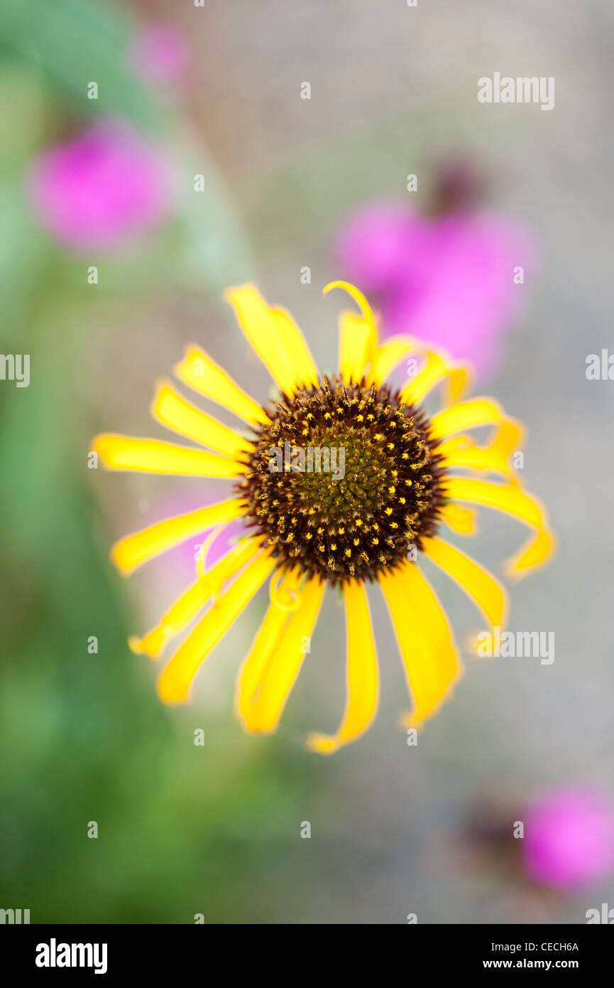 Echinacea paradoxa . Yellow Coneflower Stock Photo