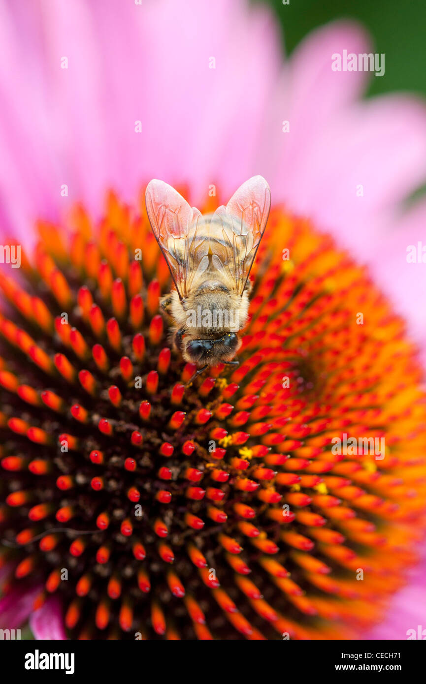 Honeybee feeding on a Echinacea purpurea coneflower - Stock Image