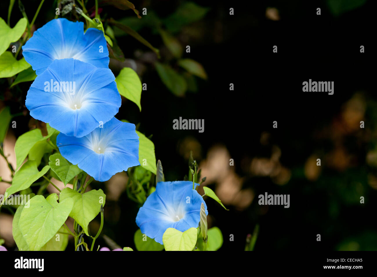 Ipomoea tricolor 'heavenly blue' flower against a dark background - Stock Image