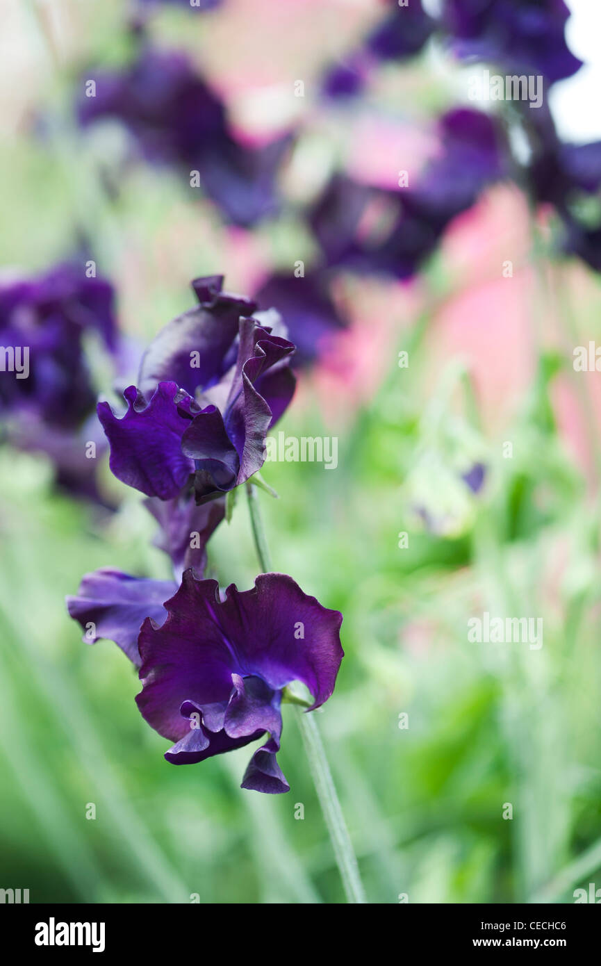 Lathyrus odoratus. Sweet pea 'Hero' flowers - Stock Image