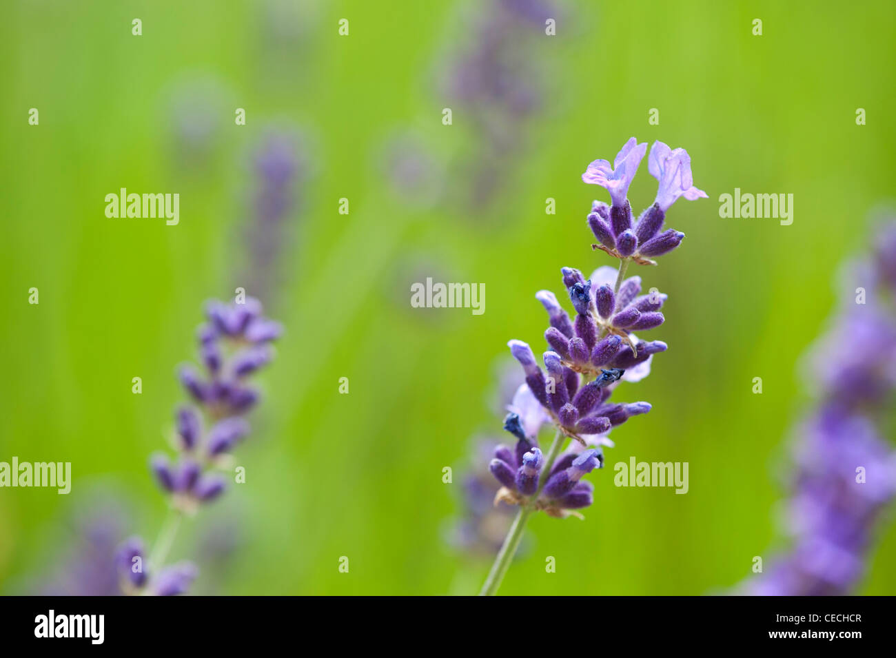 Lavandula Angustifolia 'Hidcote'. Lavender against soft green background - Stock Image