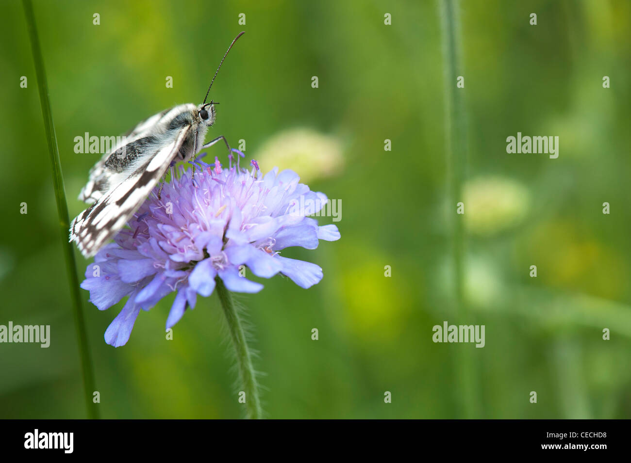 Melanargia galathea. Marbled white butterfly on field scabious flower in the english countryside - Stock Image