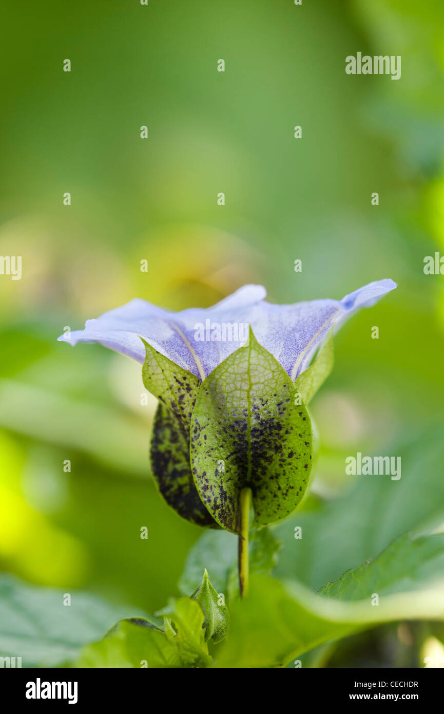 Nicandra Physalodes. Shoo fly plant. Peruvian bluebell. Apple of Peru flower Stock Photo