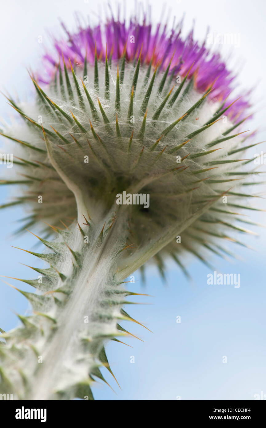 Onopordum acanthium . Cotton Thistle - Stock Image