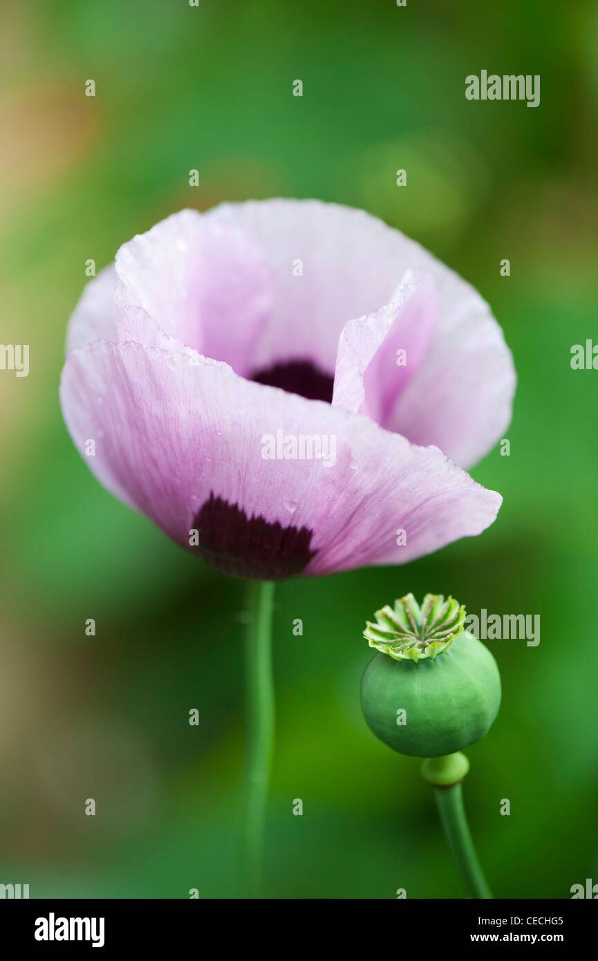 Papaver somniferum poppy in an english garden Stock Photo