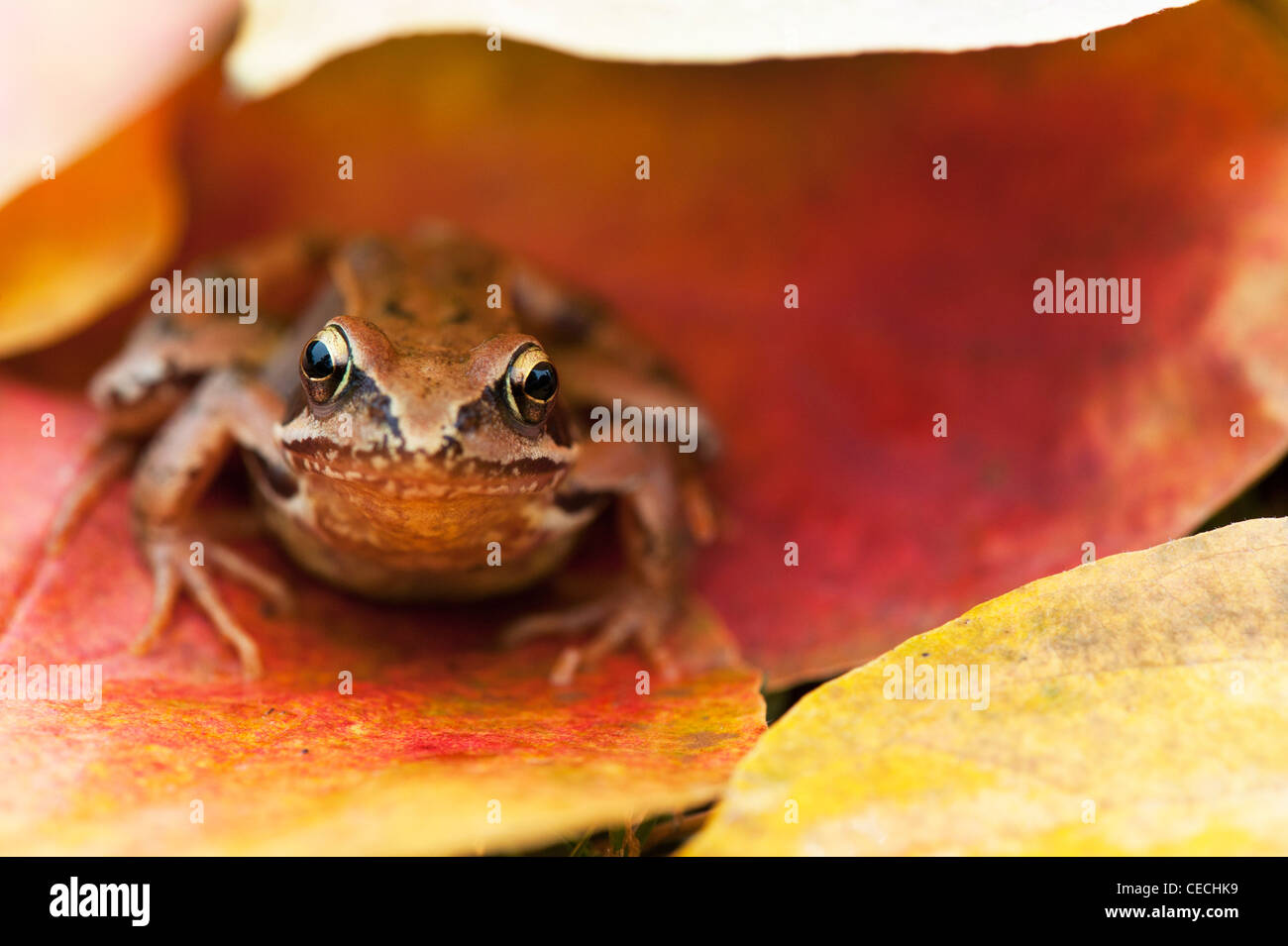 Common garden Frog 'Rana Temporaria' sitting under colourful autumn tree leaves - Stock Image
