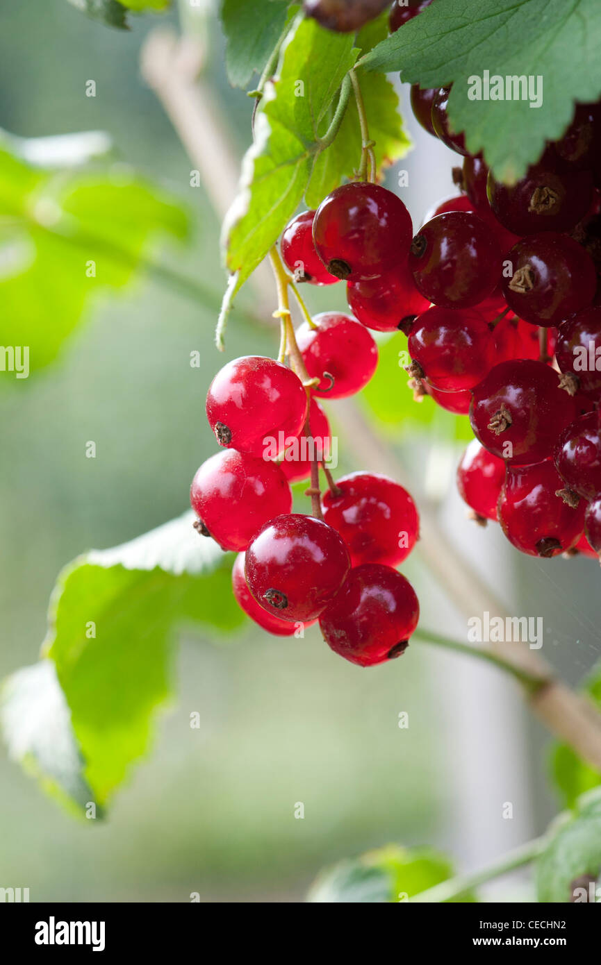 Redcurrant 'Redpoll' berries on a bush Stock Photo