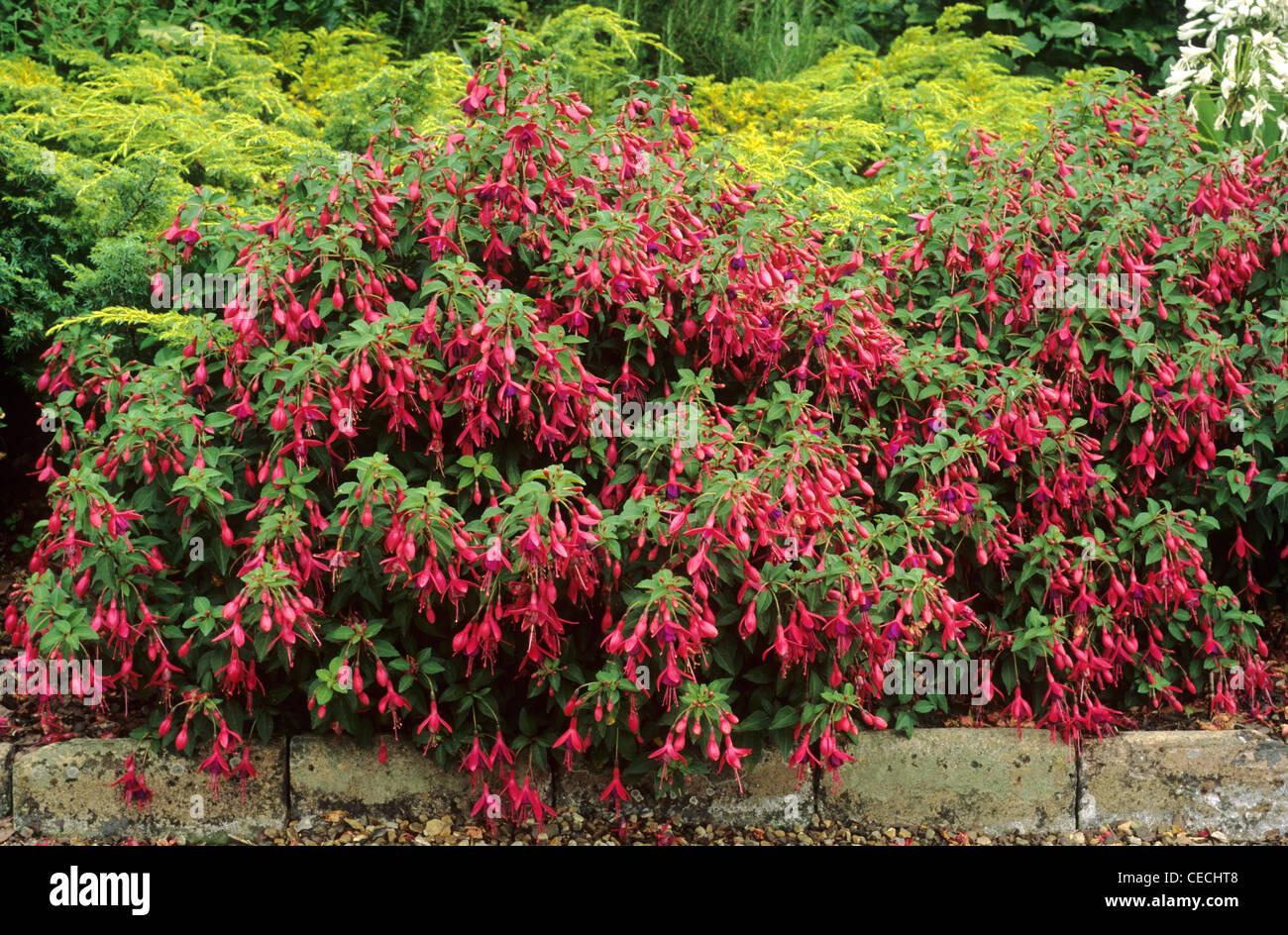 Fuchsia U0027Tom Thumbu0027, Border Edge Red Flower Flowers Fuchsias Garden Plant  Plants