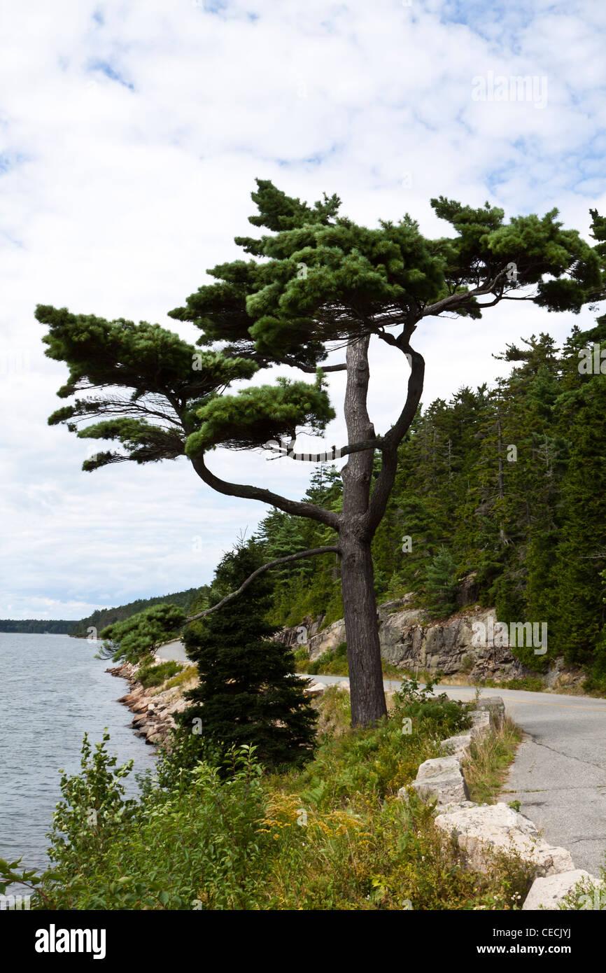 Pine tree,conifer; spruce,Pinaceae,coniferous,fir - Stock Image