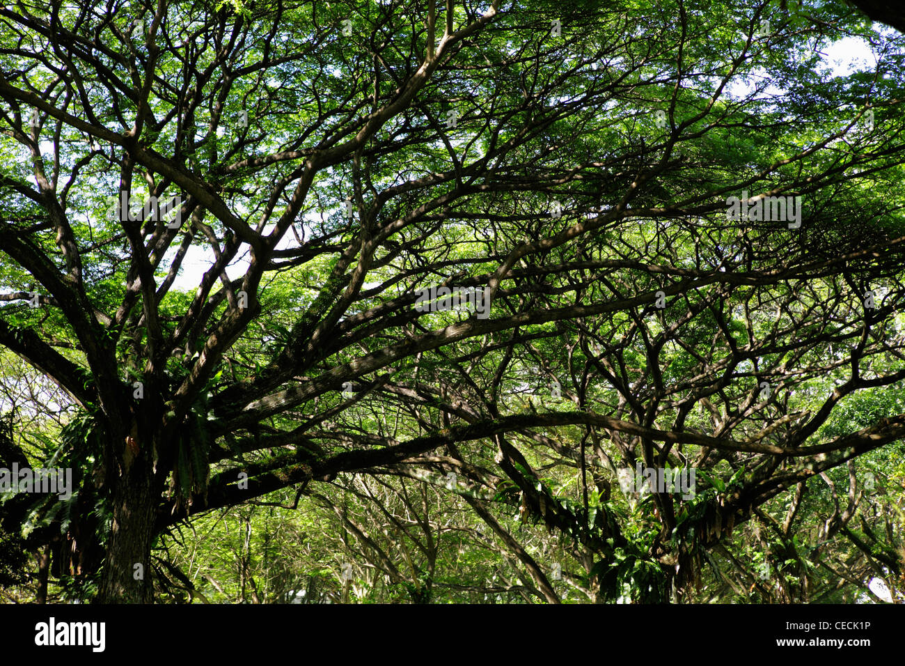 wide shot of branches and leaves of large trees - Stock Image