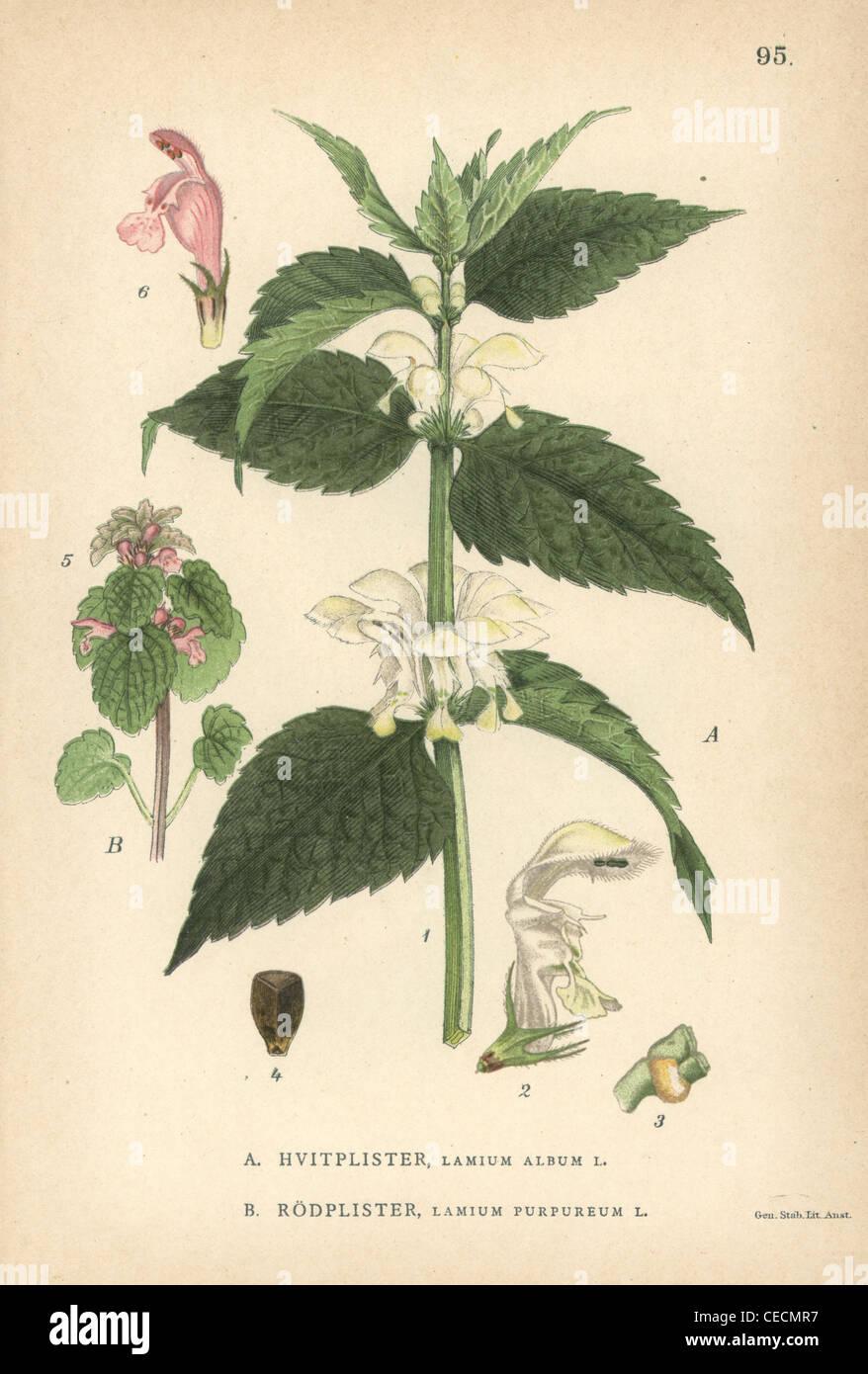 White deadnettle, Lamium album, and purple archangel, Lamium purpureum. - Stock Image