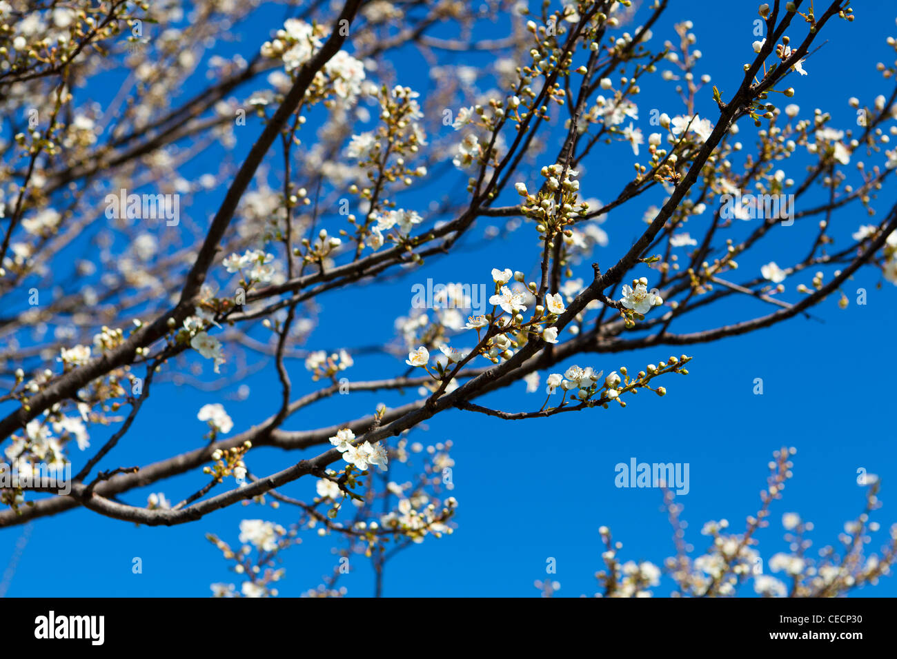Spring flowers on a tree - Stock Image