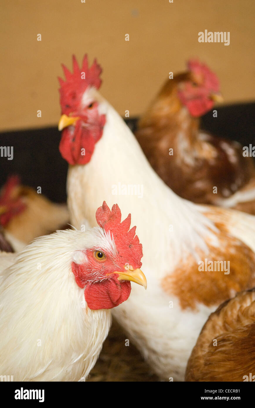 Free range cockerels Fosse Meadow Farm Leicestershire UK - Stock Image