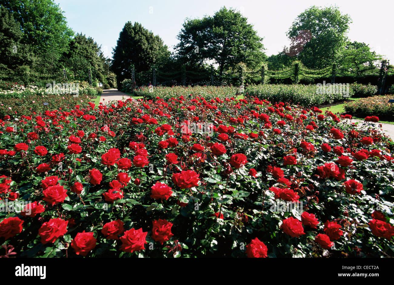 Roses In Garden: England, London, Regents Park, Queen Mary's Gardens, Rose