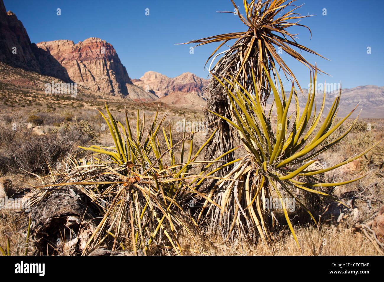 aloe vera type shrub in red rock canyon outside las vegas nevada