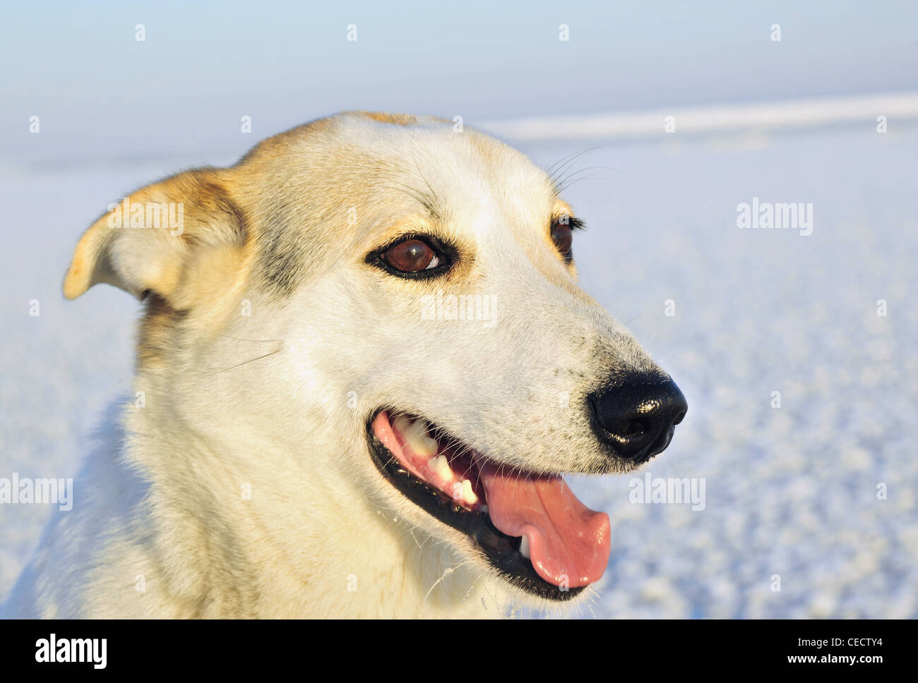 Portrait of a dog. A winter portrait of a hunting dog close up. (Canis lupus familiaris) - Stock Image