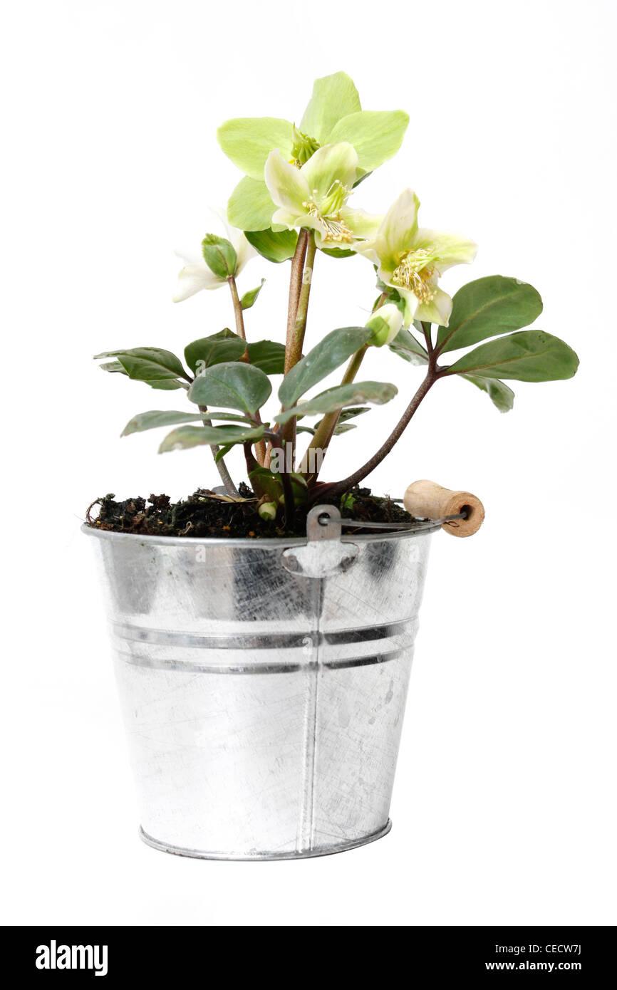 Helleborus flower in a pot - Stock Image